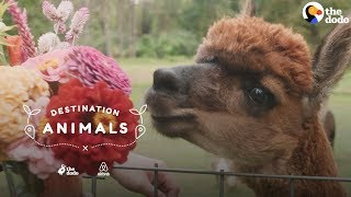 Download Surround Yourself With Fuzzy Alpacas | The Dodo Airbnb Experiences Video