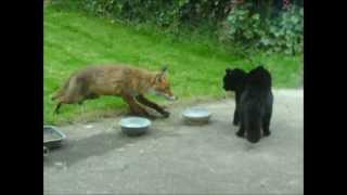 Download Cat vs fox / an cat i gcoinne an tsionnaigh /Katze gegen Fuchs / Chat contre Renard Video