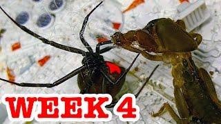 Download Deadly Spider Vs Devil Bug Week 4 Redback Spiders Ultimate Killers Video