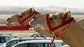 Download One Million Dollar Camel Race | Wild Arabia | BBC Video