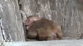 Download Baby monkey to call mom crying Video