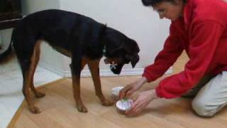 Download Mind Games for Dogs: Shell Scent Game Dog Indicates correct container where scent is Video