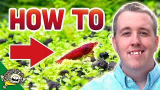 Download How To Breed Cherry Shrimp Video
