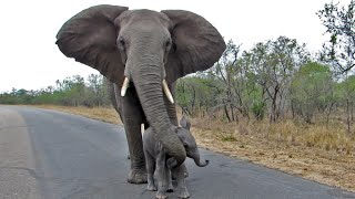 Download Mother Elephant Protects Calf From Tourists Video