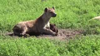 Download Cute hyena cub with mom at birth den Video