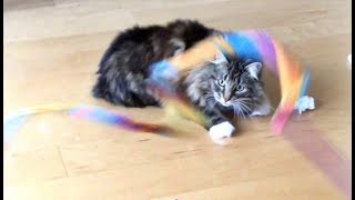 Download At Home With Lua The Brave & Beautiful Cat Video