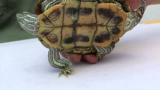 Download How to tell the difference between a male and female red-eared slider Video