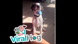 Download Great Dane Can't Catch || ViralHog Video