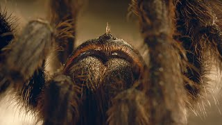Download Tarantula Mating: don't lose your head! | Wild Patagonia | BBC Earth Video