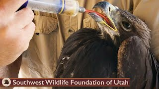 Download Young Golden Eagle Separated from Parents Video
