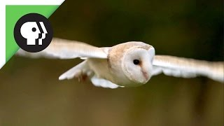 Download Owl Shows Off Silent Flight Superpower Video