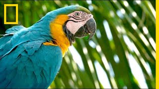 Download Why Are Wild Parrots Disappearing in Miami?   Short Film Showcase Video