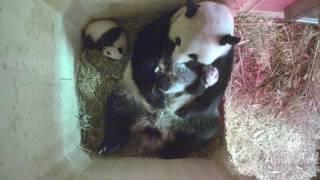 Download Panda Twins Day 67 Video