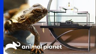 Download Creating a True Work of Art For a Uromastyx's Stylish New Home   Scaled Video
