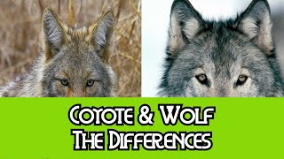 Download Coyote & Wolf - The Differences Video