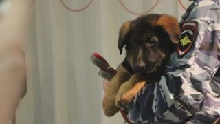 Download Russia gives France a puppy to replace police dog Diesel killed in St Denis raids Video