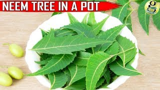 Download NEEM TREE IN POT: CARE and GROWTH TIPS on Neem Plant at Home Video