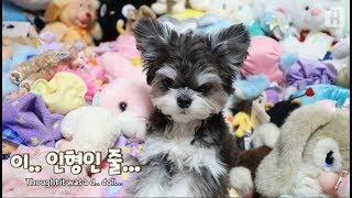 Download 이렇게 귀여운 이사님 보신 분? ㅣ 세상 귀여운 강아지 콜라 이사님 Video