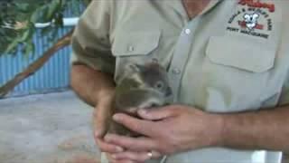 Download Baby Koala - FocusTV Video