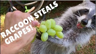 Download Raccoon Steals Grapes! Video