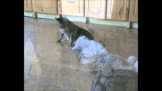 Download Lynx and cat playing Video