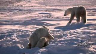 Download Warming Climate Takes its Toll on Polar Bears of Hudson Bay Video