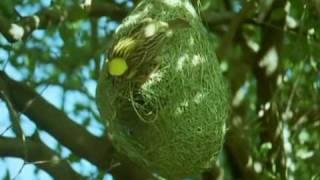 Download BBC Home Making: Weaver Bird Video