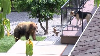 Download Black bear gets into an argument with a dog after breaking into a home in Bradbury, California. Video