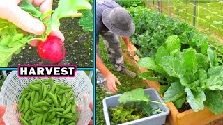 Download Container Garden Harvest & Update #2 vegetable gardening plant raw food Video
