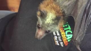 Download Baby bat grooms: this is Gidgee Video