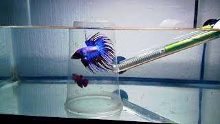 Download como reproducir peces betta(corona) (2/6) Video
