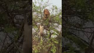 Download Ranthambore tiger attack monkey Video