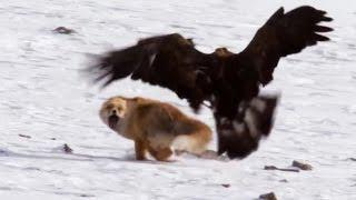 Download Birds of Prey Attacks ( Eagle, Falcon, Golden eagle). Атаки хищных птиц. Орел, сокол, беркут. Video