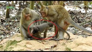 Download OMG Why monkey want to kill baby monkey Amara,baby cry and shout loudly Video