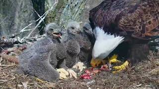 Download DECORAH EAGLES 🐣🐣🐣 DRAMA & HEARTBREAK ◕ EAGLE DAD MISSING ◕ MOM GOING IT ALONE ◕ INTRUDER ◕ Video