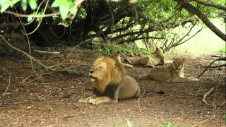 Download Mapogo roars the entire bush-veld shivers with fear,Long live Mapogos. Video