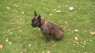 Download French Bulldog doing 20 tricks Video