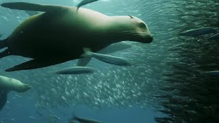 Download Sardine Feeding Frenzy: Whale, Shark, Dolphin and Sea Lions - The Hunt - BBC Earth Video