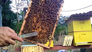 Download Apicultura, abelhas africanizadas 🐝 divisão de enxame 🐝 parte 1 Video