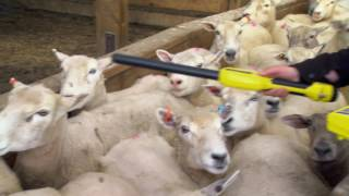 Download Crawford Lamb Breeding and Finishing Video
