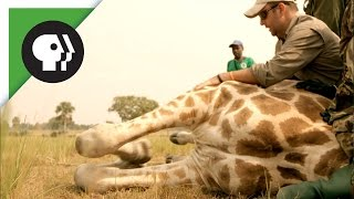 Download Vets Take Down Wild Giraffe — To Save It! Video