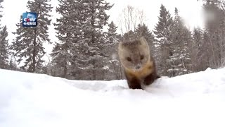 Download So cute! Wild sable appears in snow in northeast China Video