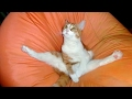 Download Funny CATS - HOLD YOUR LAUGH IF YOU CAN (CHALLENGE) Video