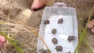Download A hatching diamondback terrapin nest at Wellfleet Bay Wildlife Sanctuary Video
