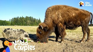 Download This Blind Buffalo's Bodyguard Is A Loyal Pig | The Dodo Odd Couples Video