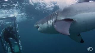 Download 18-Foot Shark Attacks Cage | Great White Serial Killer Video