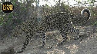 Download safariLIVE - Sunset Safari - November 17, 2018 Video