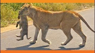 Download Lioness Rescues Her 6 Cubs After an Elephant Chase Video
