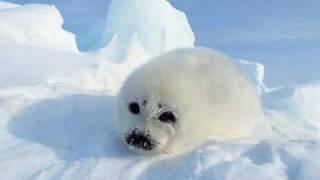 Download Arctic animals Video