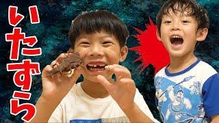 Download いたずらドッキリ再び…!カブトムシを食べたらどうする!?仲良し兄弟brother4アツキの反応は? Video